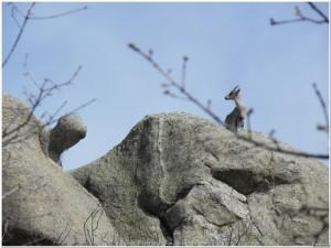 Roca curiosa y cabra