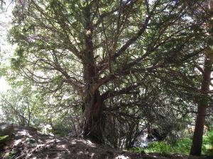 Tejo en el arroyo del Chivato
