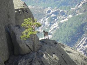 Cabra en el Laberinto